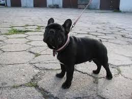 Znalezione obrazy dla zapytania pies buldog francuski cena