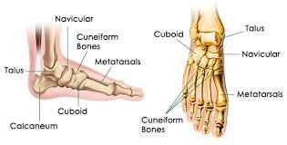 human foot bones diagram   aof c kle bone diagram aof