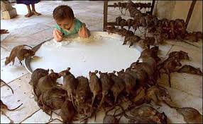 Image result for milk rats