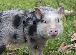 The Guide to Owning a Potbellied <b>Pig</b>