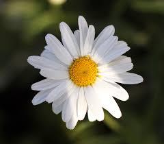 Leucanthemum - Viquipèdia, l'enciclopèdia lliure