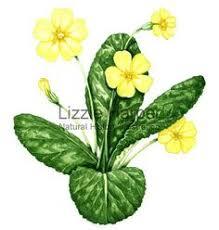 Study of a primrose, c.1830 (w/c on paper) by <b>Charlotte Bronte</b> ...