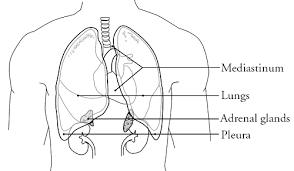 Image result for mediastinum