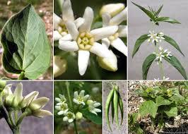 Vincetoxicum hirundinaria Medik. subsp. hirundinaria - Sistema ...