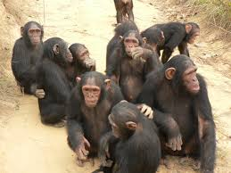 Image result for chimps