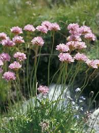 Armeria alpina - Armeria alpina   Plumbaginaceae