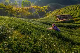 Чайные фермеры собирают <b>чай</b> утром, среди гор и <b>тумана</b> ...