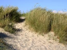 Risultati immagini per piante duna immagini