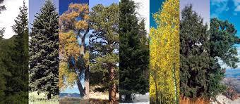 Colorado's Major <b>Tree</b> Species - Colorado State <b>Forest</b> Service