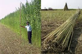 Image result for hemp fields in kentucky