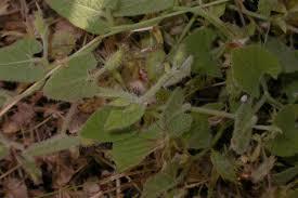 Convolvulus betonicifolius (Convolvulaceae) image 22425 at ...