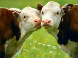 Αποτέλεσμα εικόνας για αρμεγμα αγελαδας
