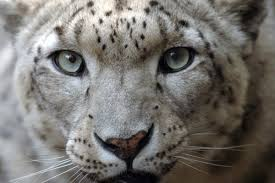 snow leopards org 1nk6lhu3wn julie larsen maher 0095 snow leopard bz 09 24 04