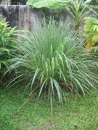 Cymbopogon - Wikipedia
