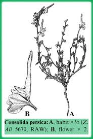 Consolida in Flora of Pakistan @ efloras.org