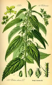 Urticaceae - Wikipedia