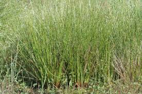 Juncus - Wikipedia