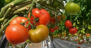 Чем подкормить <b>рассаду</b> помидоров и перца в домашних ...