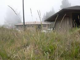 Festuca arundinacea - Wikipedia
