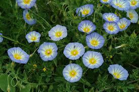 Convolvulus tricolor L.   Flora of Israel Online