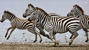 Resultado de imagen de zebras