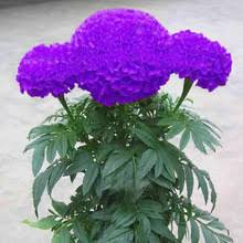 bonsais <b>Hot</b> Sale Rare Purple Maidenhair Flower Potted Herb ...