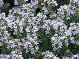 Thymus vulgaris - Wikipedia