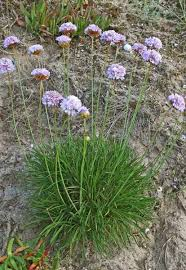 Armeria pungens, flora di Sardegna