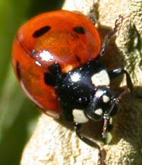 <b>ladybug</b> - Wiktionary