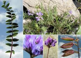 Oxytropis montana (L.) DC. - Portale sulla flora del Parco Naturale ...