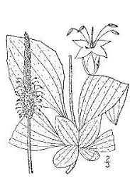 Plants Profile for Plantago media (hoary plantain)