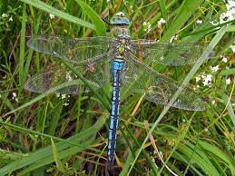 shecrown big dragonfly blue turquoise womans wedding silver pendant 45x39mm