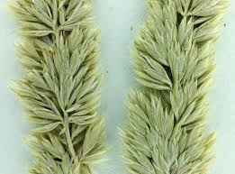 Junegrass, Koeleria macrantha
