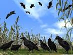 Images & Illustrations of crow corn