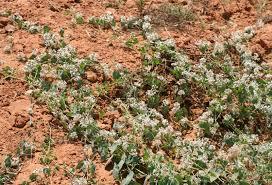 Cynanchum acutum L.   Flora of Israel Online