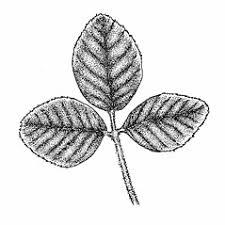 Trifolium campestre (pinnate hop clover): Go Botany