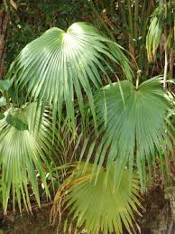 Livistona chinensis - Useful Tropical Plants