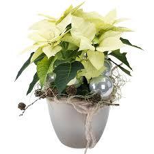 Znalezione obrazy dla zapytania gwiazda betlejemska kwiat