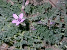 Erodium cicutarium Calflora