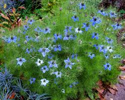 Nigella damascena - Wikipedia