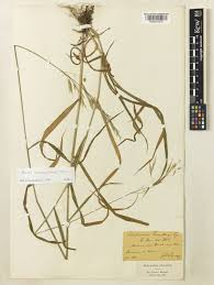 Bromus benekenii (Lange) Trimen | Plants of the World Online | Kew ...