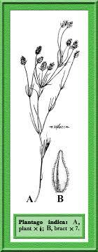 Plantago indica in Flora of Pakistan @ efloras.org