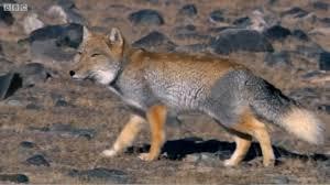 A Tibetan <b>Fox</b> and a Brown <b>Bear</b> hunting Pikas in the Himalayas ...