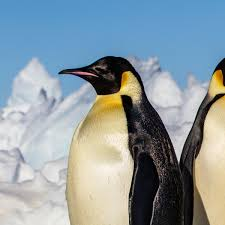 <b>Emperor</b> Penguin | National Geographic