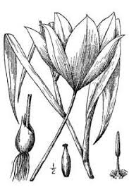 Plants Profile for Tulipa sylvestris (wild tulip)