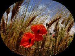 Risultati immagini per campo di spighe di grano - mese di giugno - immagini