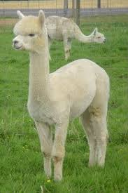 Image result for alpaca