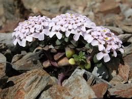 Iberis spathulata – Wikipedia