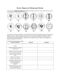 Cell Division  Mitosis and Meiosis Study Guide studylib net