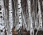 Images & Illustrations of birken